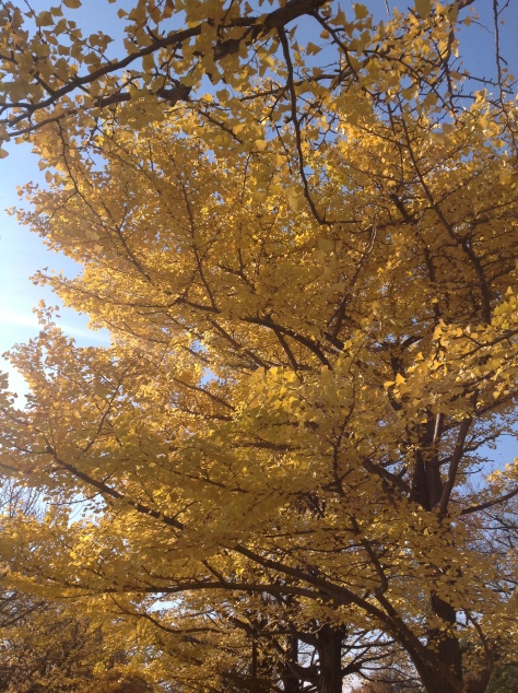 Gingko tree at Tachikawa Showa Kinen Park